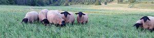 Blackies - Sheep For Sale